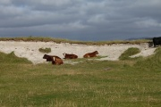 Cows in a Sandy Cove